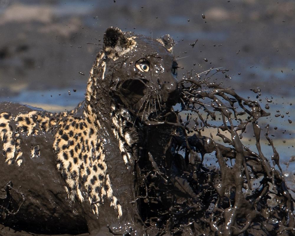 In Botswana un leopardo non si fa problemi a saltare nel fango per catturare un pesce.